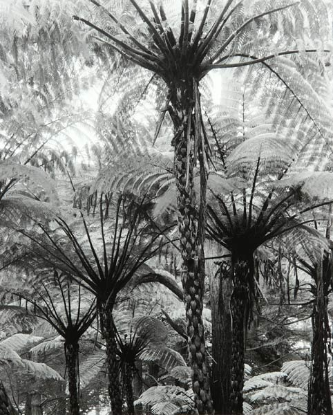 Fern Trees (San Francisco) by Bruce Zander | ArtworkNetwork.com