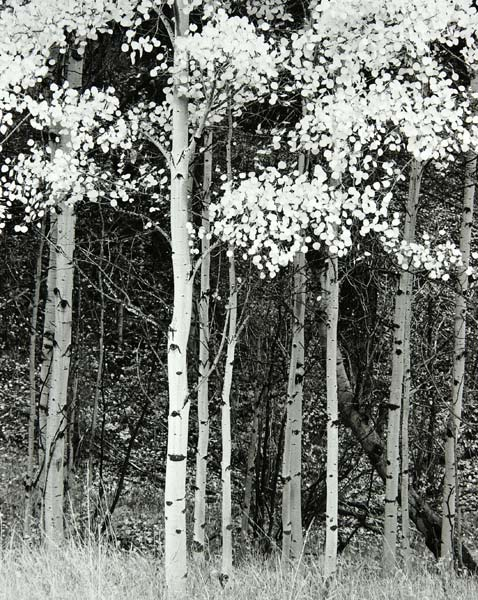 Aspen on Drew Hill Road (Colorado) by Bruce Zander | ArtworkNetwork.com