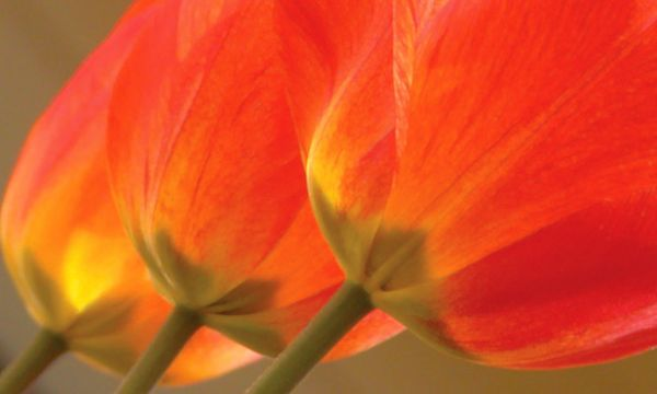 tulips by Scott Takeda | ArtworkNetwork.com
